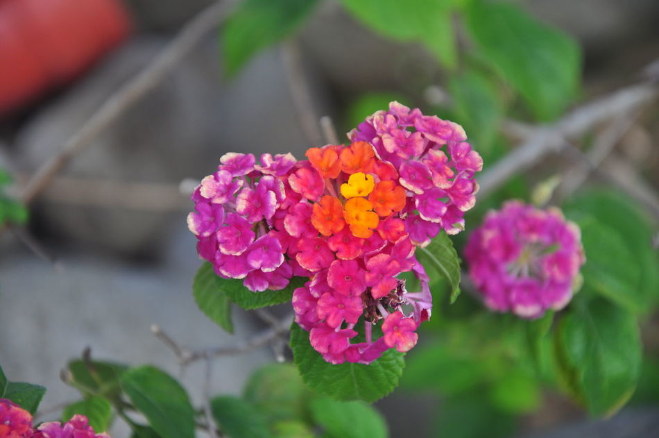 """Lantana Camara also known as """"Baho-baho"""" in the Philippines Beauty In Nature Blooming Flower Flower Head Lantana Camara Nature Nature Photography Nature Photography EyeEm Best Shots Outdoors Philippines Plant Plant Purple"""
