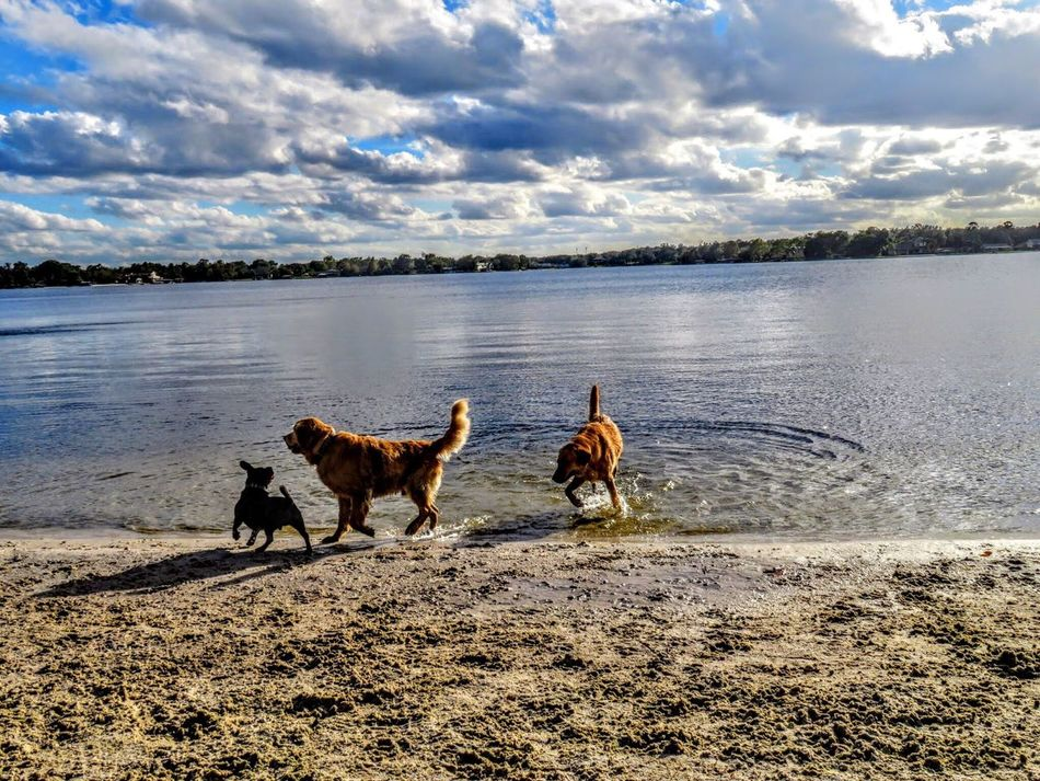 Water Domestic Animals Sky Animal Themes Cloud - Sky Dog Mammal Nature Beach Beauty In Nature Pets Golden Retriever Dog Playing Dog Swimming Dogs Waterfront Labrador Lake Water Play Dogs Of EyeEm Outdoors Scenics Sand No People Day