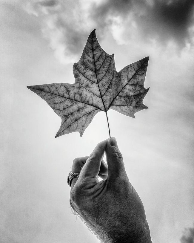 Monochrome Photography Automne... 🍁 Person Leaf Holding Human Finger Autumn Change Leisure Activity Lifestyles Dry Unrecognizable Person Part Of Natural Pattern Personal Perspective Close-up Showing Single Object Sky Focus On Foreground Leaf Vein Maple Leaf Hand Blackandwhite