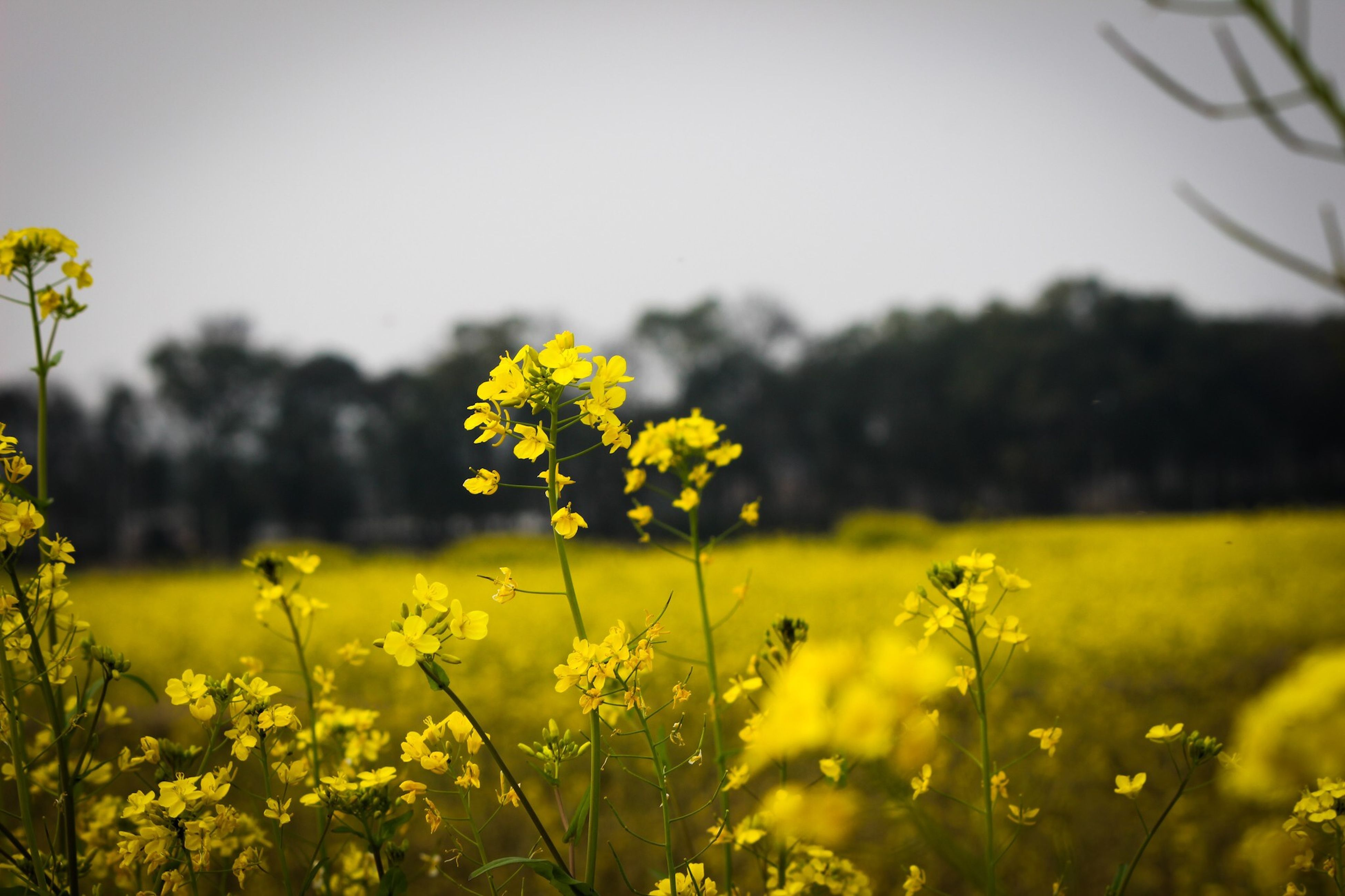 flower, yellow, freshness, fragility, growth, beauty in nature, field, nature, petal, flower head, focus on foreground, blooming, plant, stem, in bloom, close-up, blossom, selective focus, wildflower, clear sky