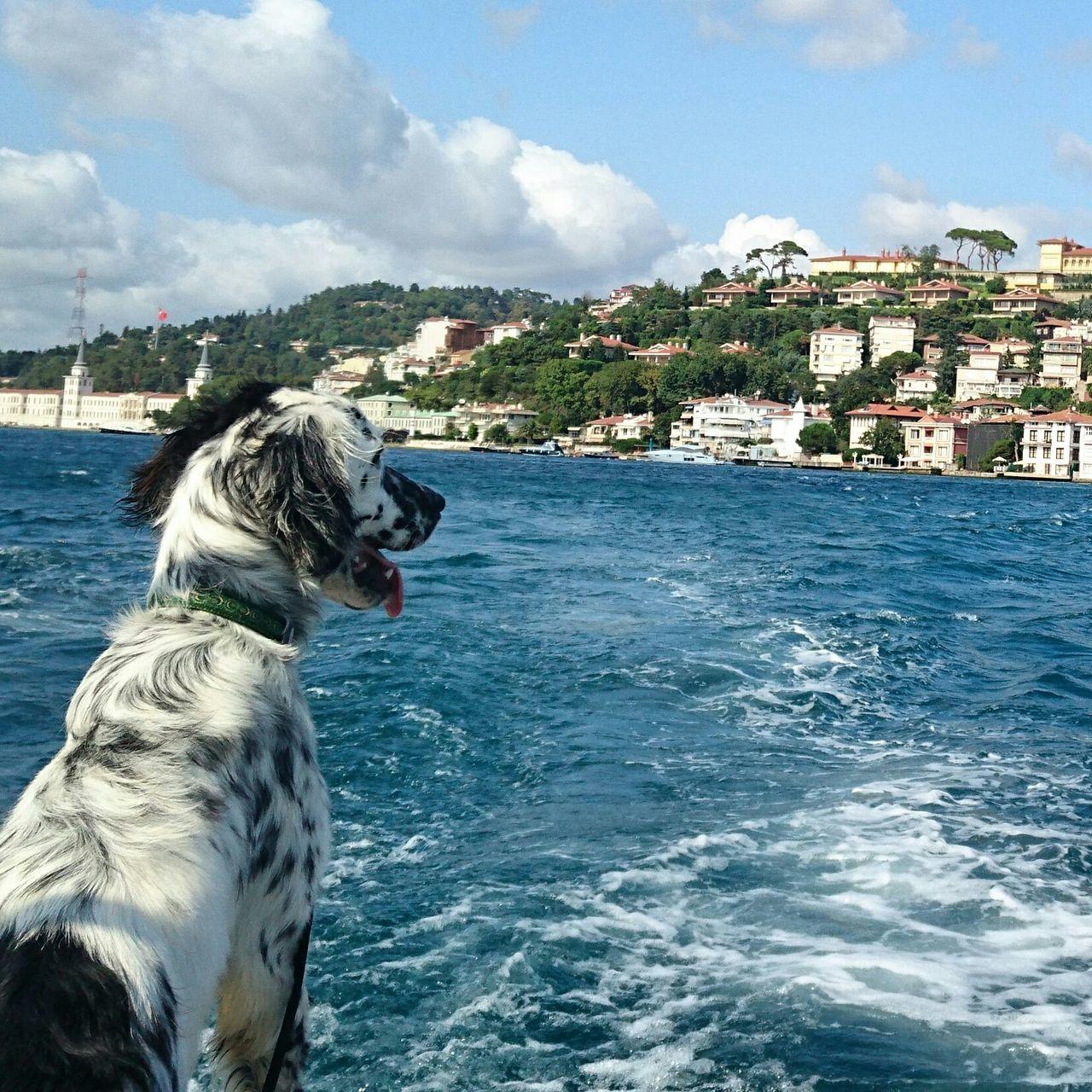 LeoDayı Relaxing Eye4photography  Eye Em Best Shots Taking Photos The Purist (no Edit, No Filter) Summerdogs Dog Istanbul Turkiye Britishsetter