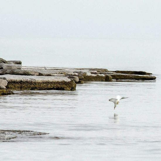 Dive Seagull Dive Bird Water Lake Ontario Be. Ready.
