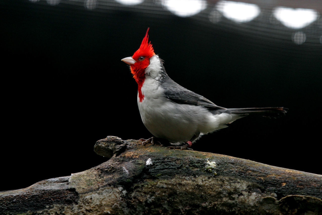 Cardinal Bird Angrybirds Animal Themes Animal Wildlife Aves 🐥🐤🐥 Beautiful Beauty Beauty In Nature Bird Birds_collection Cardinals Close-up Day Female Animal Looking At Camera Nature No People One Animal Outdoors Perching Songbird