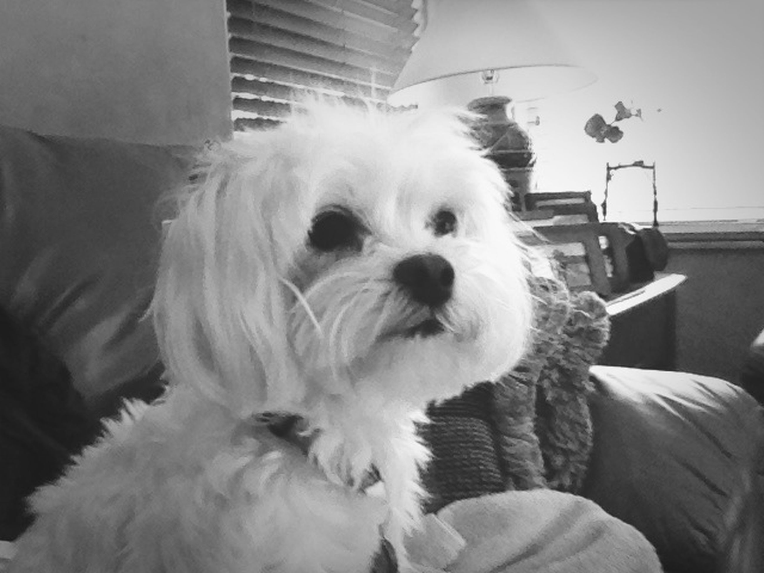domestic animals, pets, dog, animal themes, one animal, mammal, indoors, home interior, animal hair, portrait, close-up, loyalty, animal head, looking at camera, relaxation, pampered pets, white color, sitting, front view