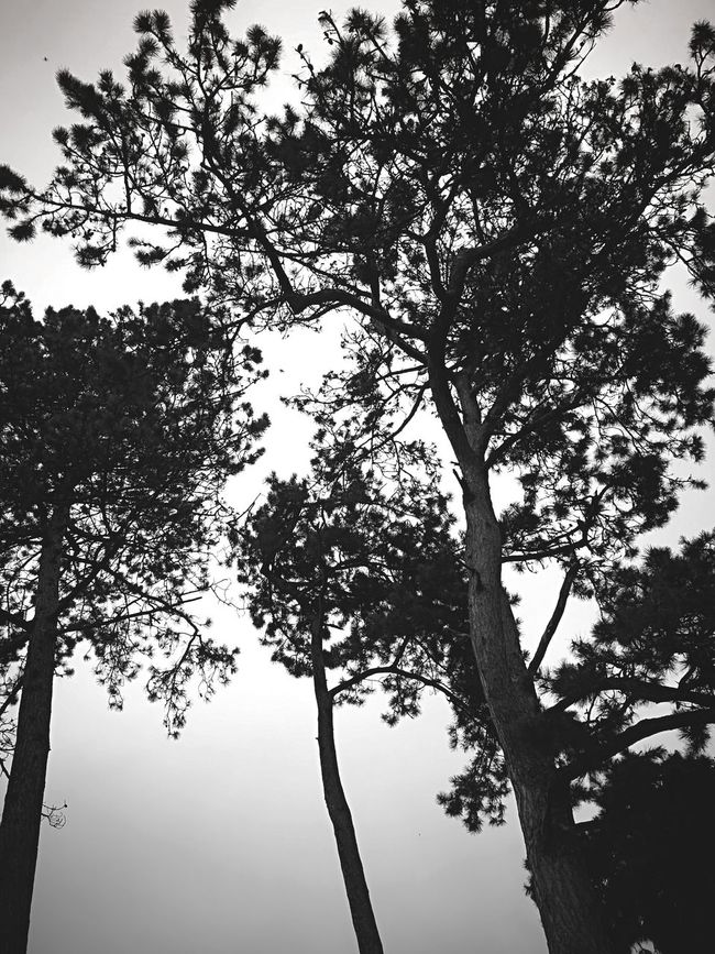 Trees And Sky Lookingup Growth Nature Silhouette Outdoors No People WoodLand Beauty In Nature Fragility Tranquility Low Angle View Tree Trunk Tree Tall Remote Sky Caversham Mobilephotography TakenwithhuwaeiP9 EyeEm FreshonEyeem Photooftheday
