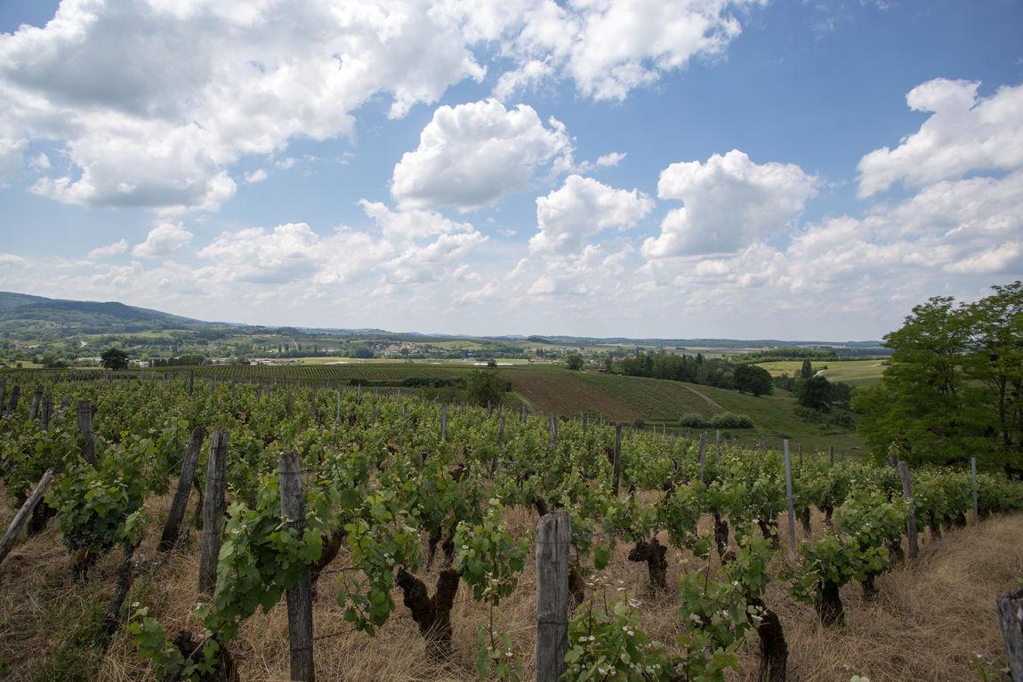 Vineyard near Arbois in spring Beauty In Nature Cloud - Sky France Growth Landscape Plant Rural Scene Sky Tranquility Vineyard Winemaking