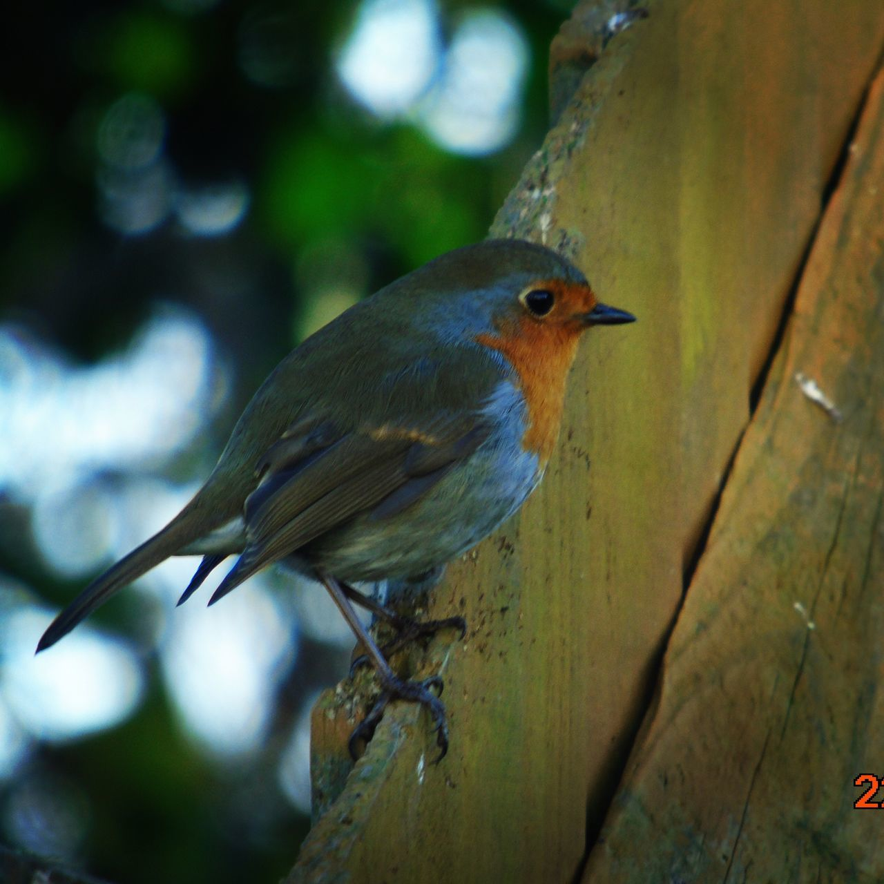 Robin Birds Animal Wildlife Bird Bird Photography Wildlife Photography