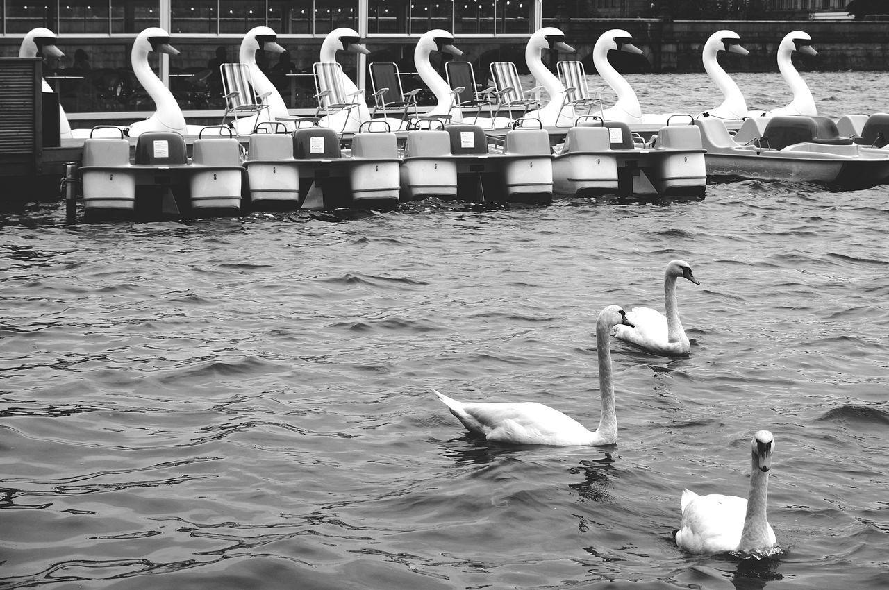Adapted To The City Bird Blackandwhite Nature Swan Water Waterfront