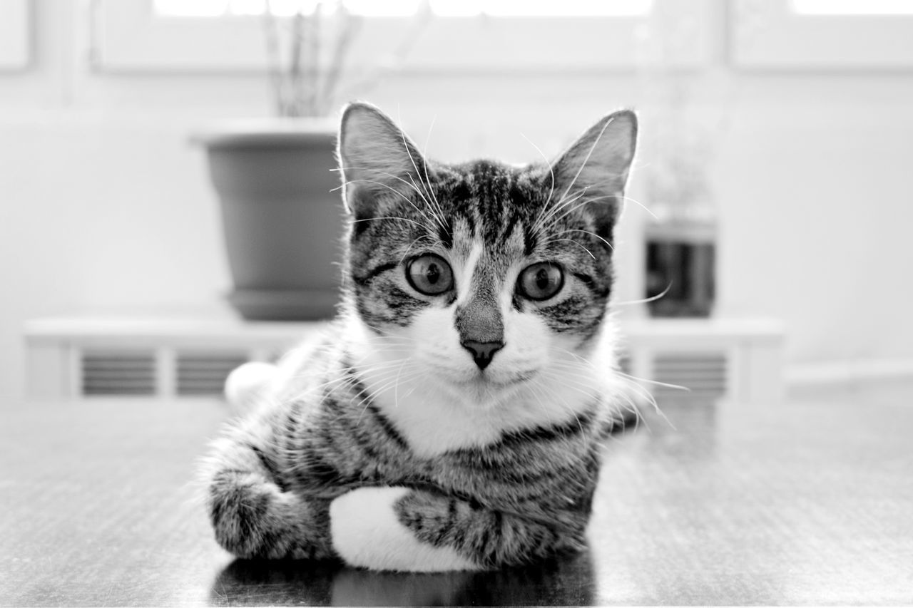 Magi, II Animal Themes Black And White Close-up Day Domestic Animals Domestic Cat Feline Focus On Foreground Indoors  Looking At Camera Mammal No People One Animal Pets Portrait Radiator Tabby Cat Whisker