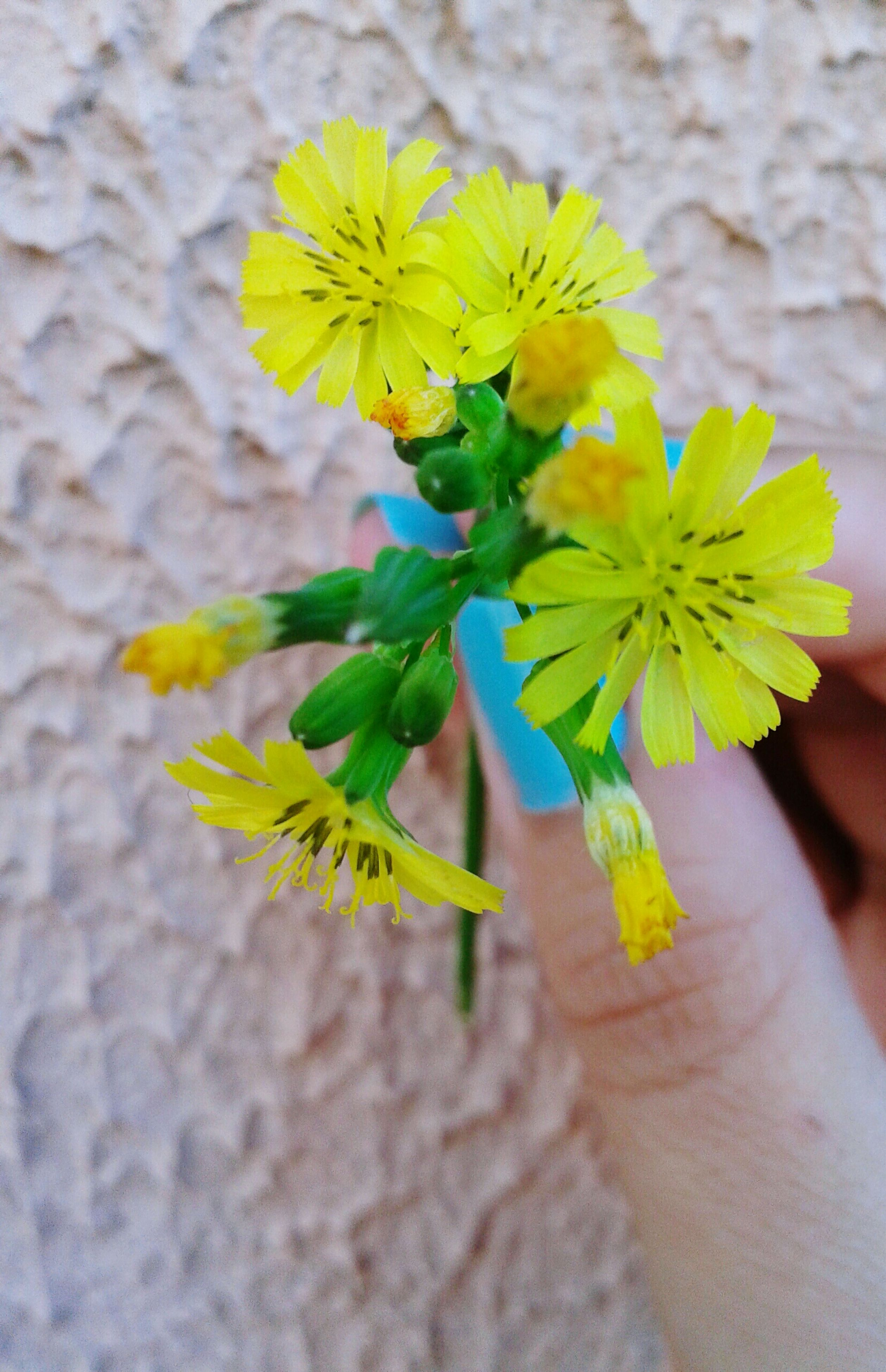 flower, yellow, petal, freshness, fragility, flower head, close-up, growth, focus on foreground, beauty in nature, nature, pollen, one person, plant, blooming, stem, holding, day, botany, single flower