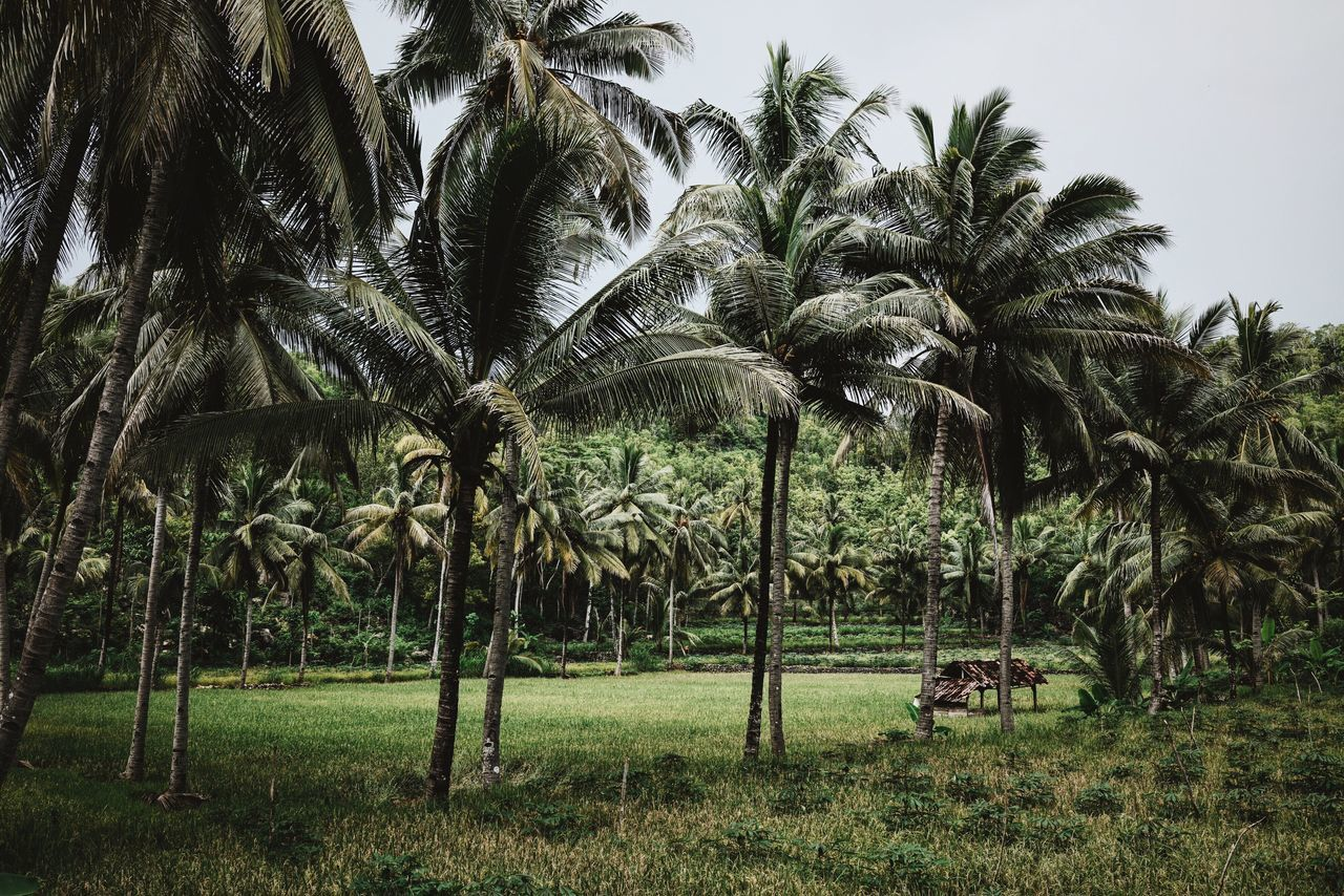 Oh, Indonesia 🌴🌴🌴 Landscape Palm Trees Tropical Climate Green Nature Nature_collection Landscape_Collection Trees Grass Shack ASIA INDONESIA Java The Great Outdoors - 2016 EyeEm Awards Pacitan Showcase June Color Palette