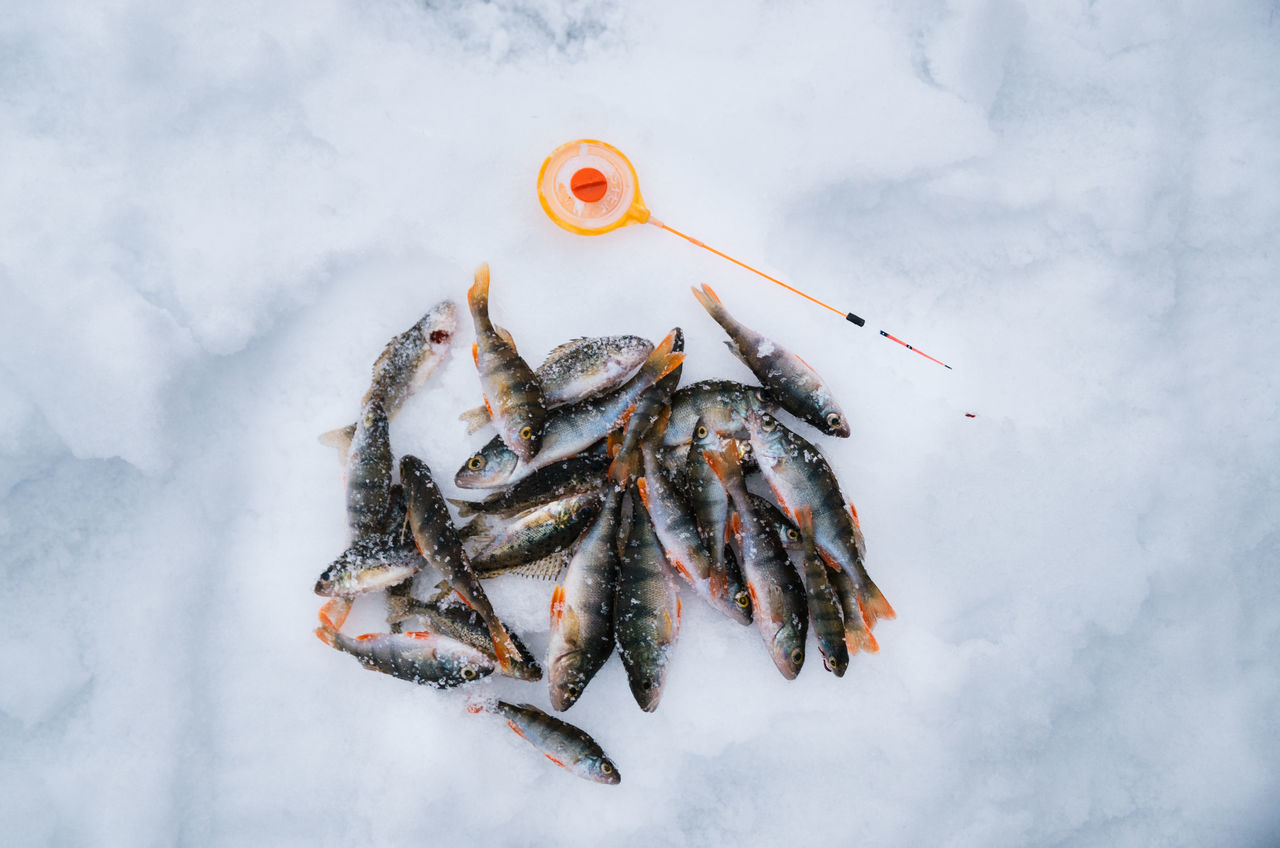 Ice fishing. Group of perch caught lying on the ice with sport fishing rod Animal Themes Close-up Cold Temperature Day Fish Fishing Fishing Rod Freshness Ice Nature No People Outdoors Perch Snow View From Above Winter Wintertime Fresh On Market 2017