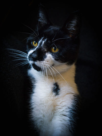 Animal Themes Black Background Cat Cat Portrait Cat Pose Close-up Domestic Animals Domestic Cat Feline Indoors  Looking At Camera Mammal No People One Animal Pet Pets Portrait Sitting Whisker