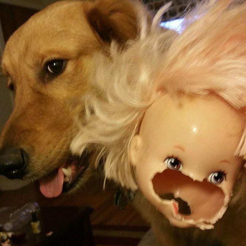 Chase Faceeater Babydollkiller Ieatthefacefirst Gentle Sweetdog Wouldnthurtafly Goldenretriever Golden PuppyFace Rar Instagolden Instadogs