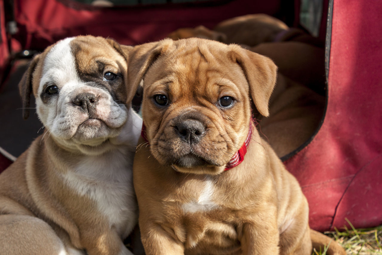 Beautiful stock photos of welpen, Animal Themes, Brown, Bulldog Terrier, Close-Up