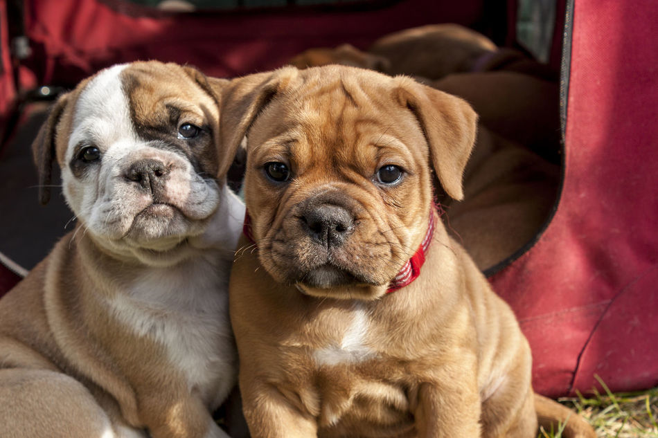 Beautiful stock photos of puppy, Animal Themes, Brown, Bulldog Terrier, Close-Up