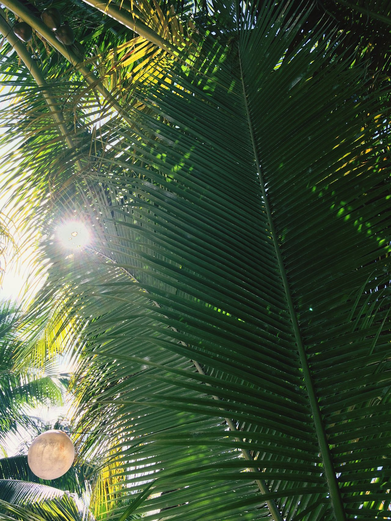 Peeking through Nature Green Color Palm Tree Tree Beauty In Nature Greenery Greenery Scenery Sunshine Sun Outdoors Tranquility Morning Light Morning Peeking Sun Peeking Through Peeking Outdoor Photography Bliss Blissfultraveler Tulum Tulum Beach Mexico Travel Travel Destinations Traveling Photography