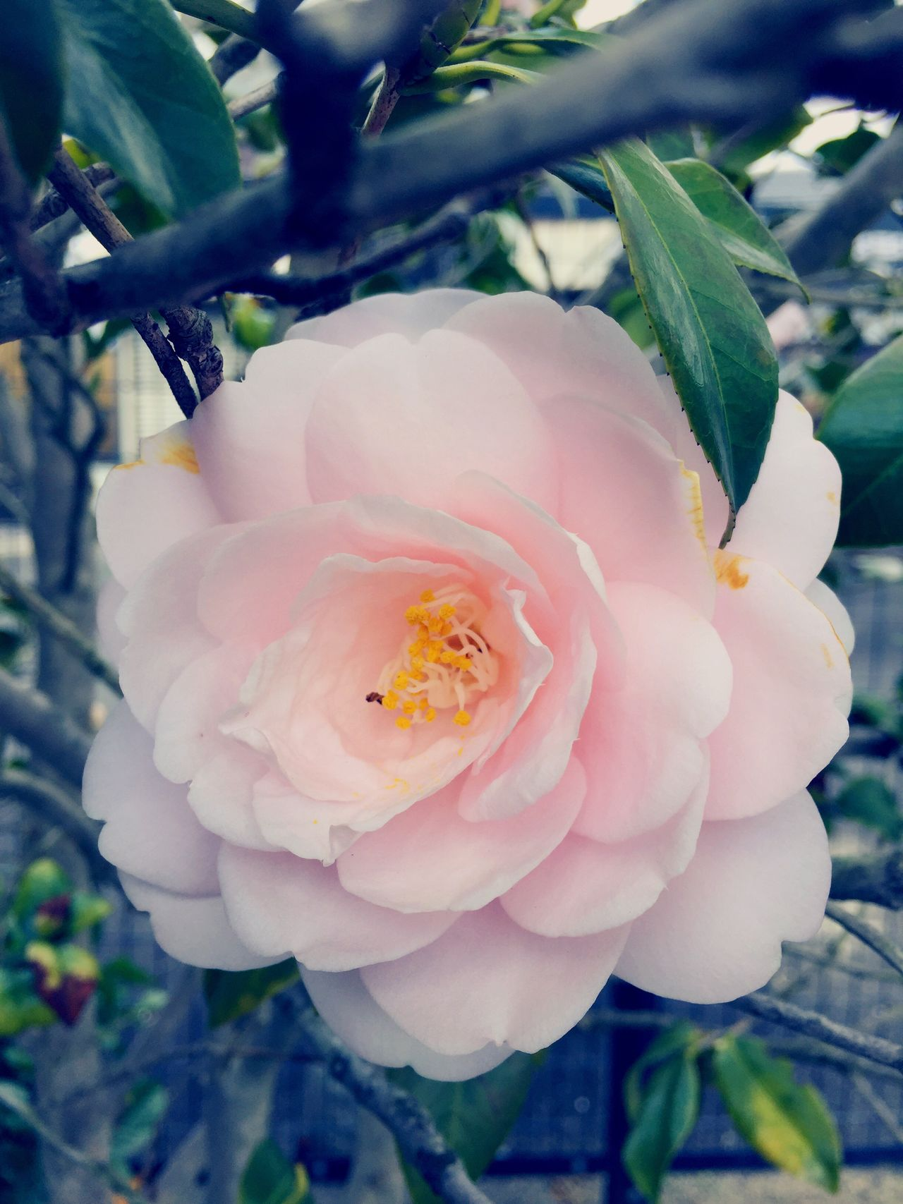 Flower Outdoors Camellia Pink Color
