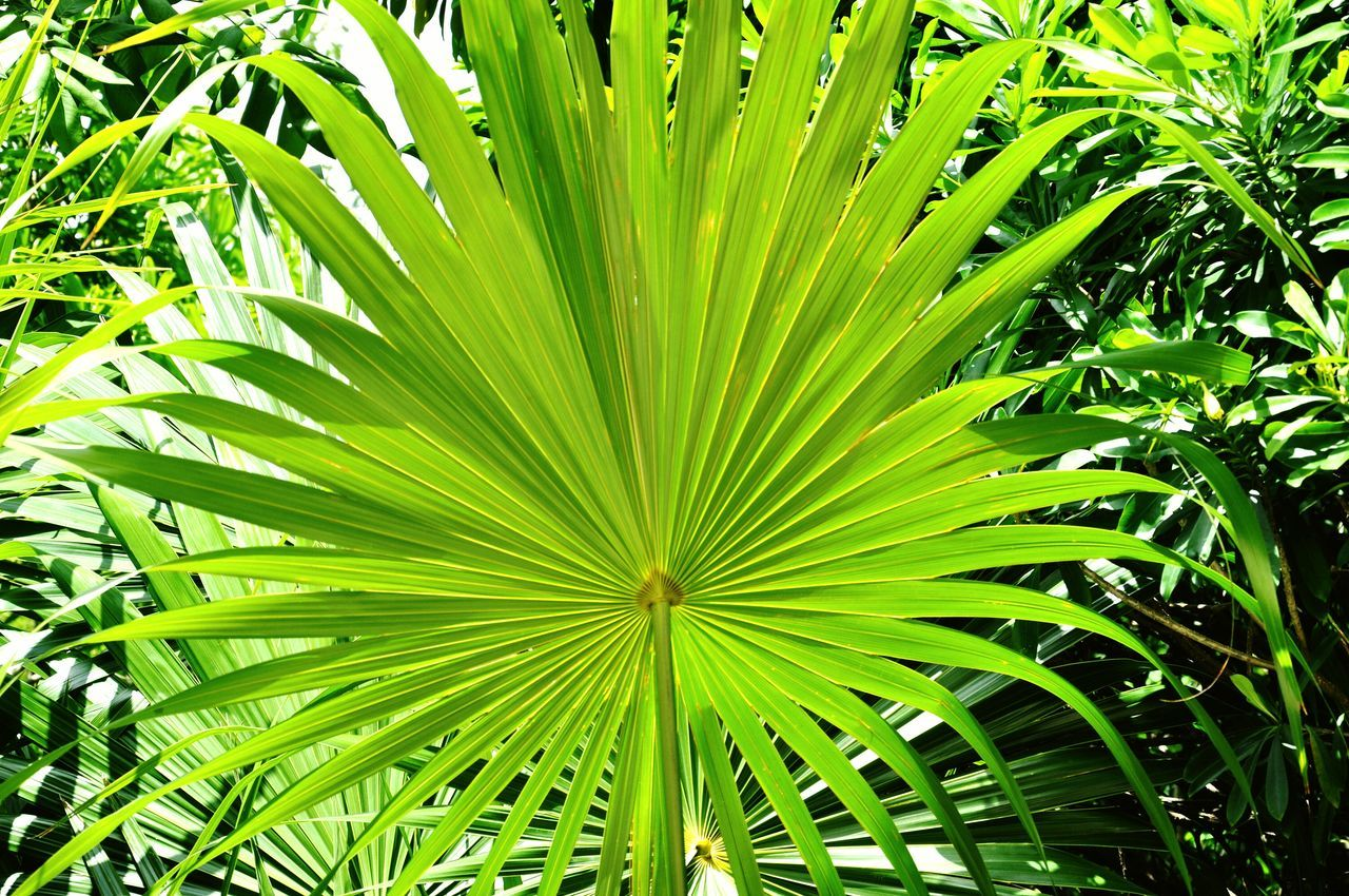 green color, leaf, growth, nature, palm tree, backgrounds, day, no people, close-up, outdoors, frond, freshness, plant, beauty in nature, tree