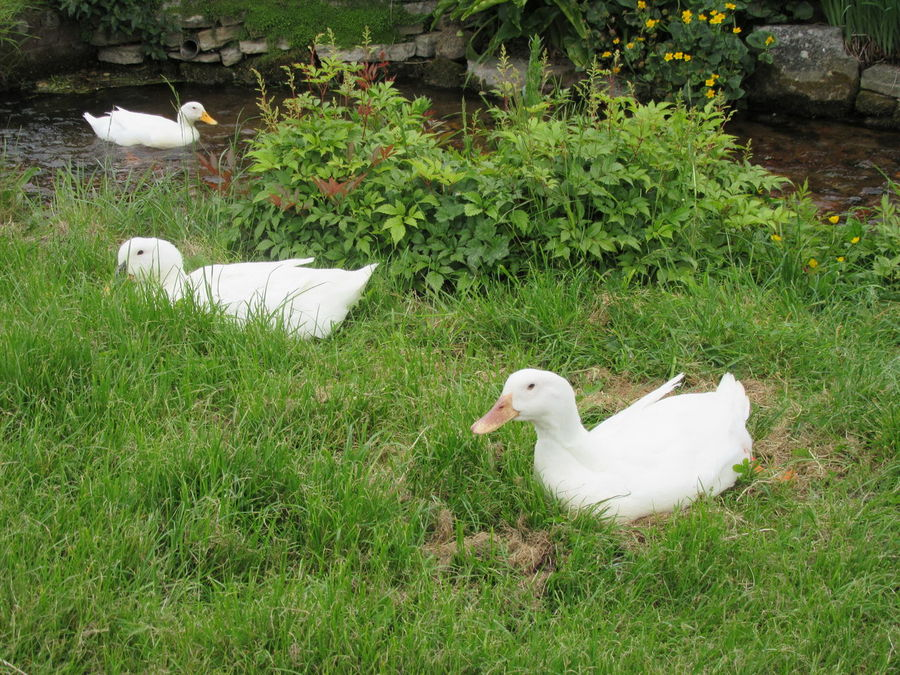 Animal Themes Animals Beauty In Nature Bird Cute Cute Ducks Duck Ducks DUCKS :) Ducks😄 Farm Farm Life Field Goose Gooses Grassy Grassy Field Nature No People Outdoors Plant White White Color White Ducks Wildlife