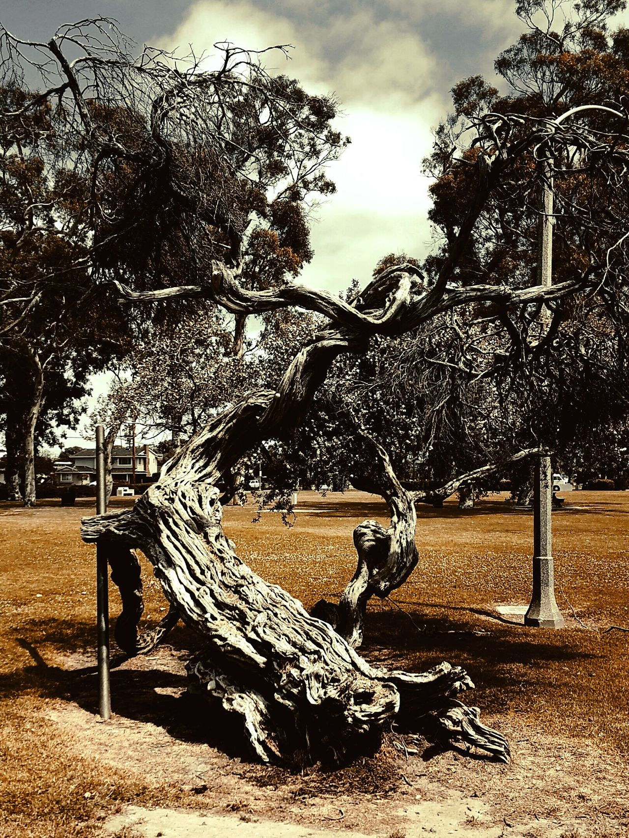 Retrofilm Tree Dead Tree Outdoors Day No People Street Filterphotography Walking Around Creativephotography Godislove Downtown Tree Huntingtonbeach Parks And Recreation Beauty In Nature SpringBreak Application Effect Park Lunchtime! Excersing Growth
