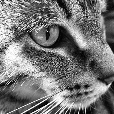 Focused! TabbyCat Tabby Catsofinstagram Catinstagram Instacat Cats