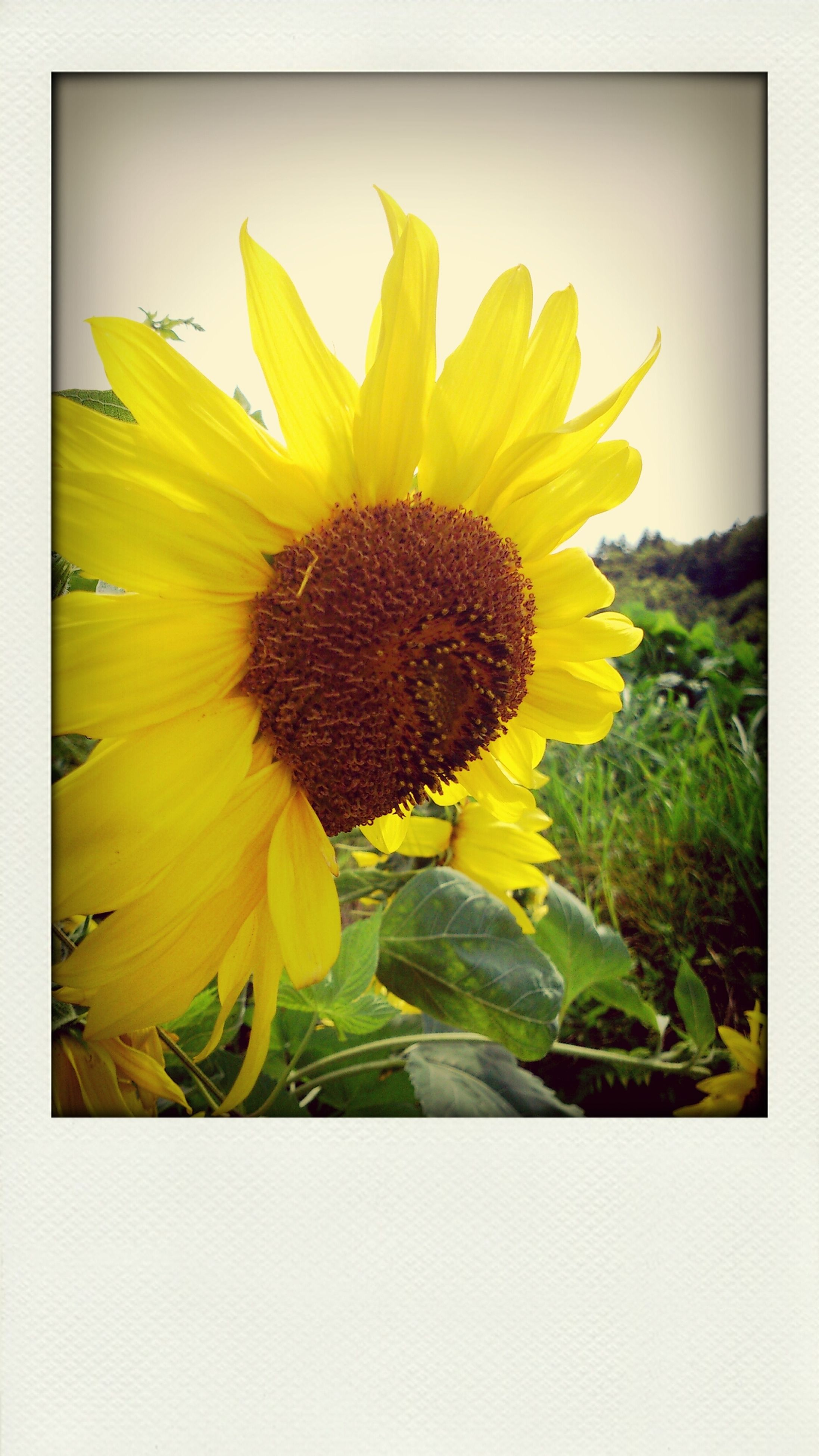 flower, yellow, transfer print, flower head, freshness, petal, fragility, sunflower, growth, beauty in nature, auto post production filter, pollen, nature, blooming, close-up, single flower, plant, in bloom, stem, no people