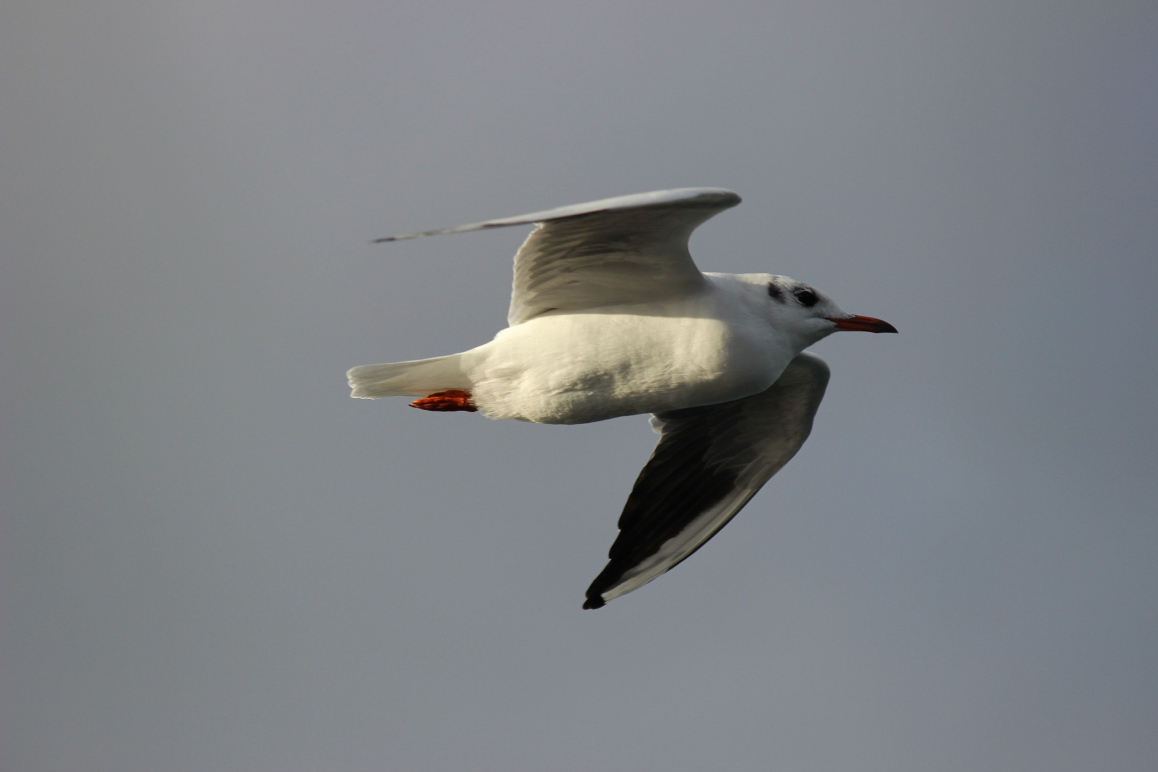 animal themes, bird, one animal, flying, seagull, spread wings, animals in the wild, wildlife, low angle view, full length, mid-air, clear sky, copy space, nature, zoology, sky, no people, day, outdoors, vertebrate