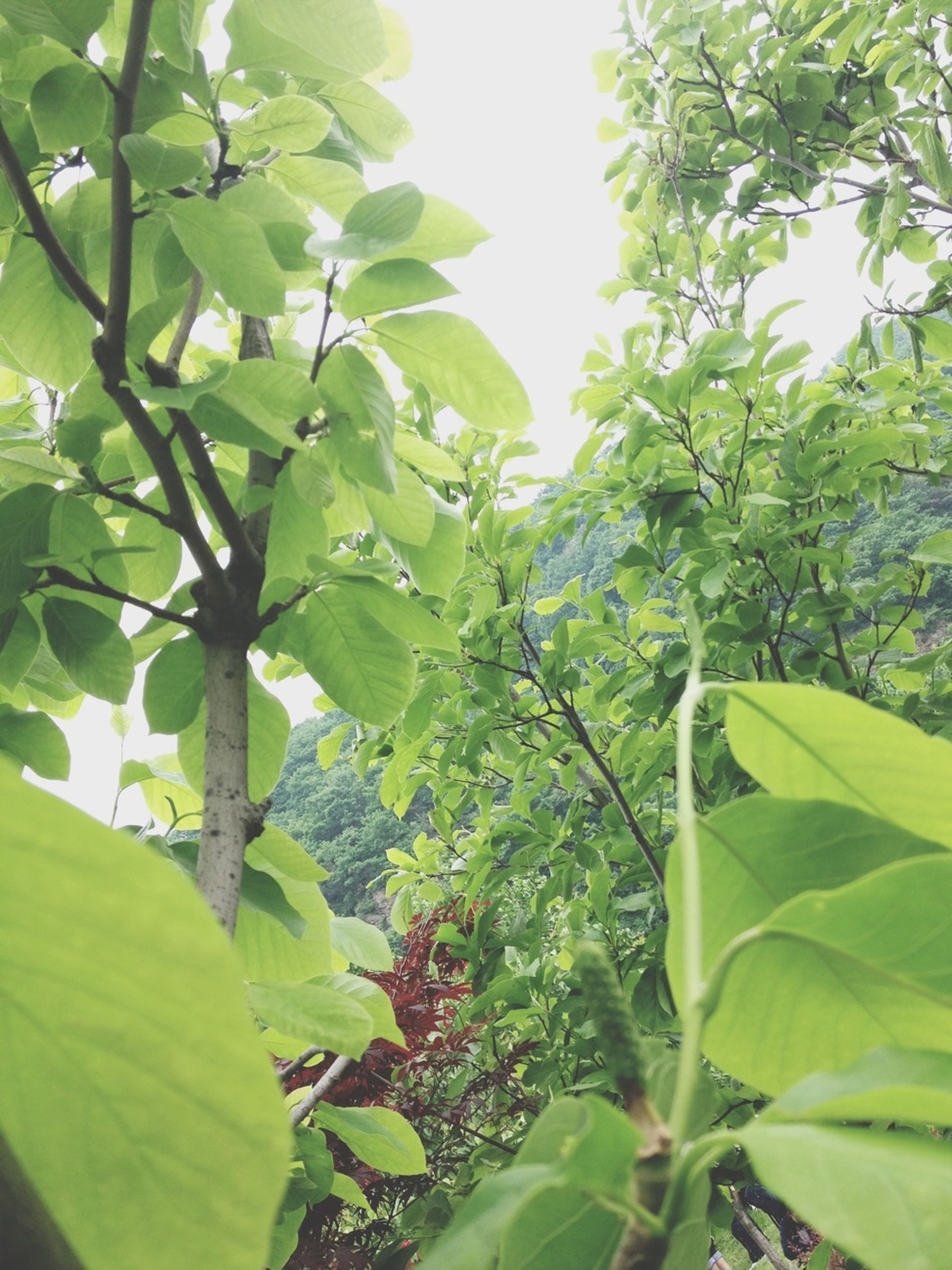 leaf, growth, green color, tree, low angle view, nature, branch, beauty in nature, plant, lush foliage, green, tranquility, freshness, day, close-up, outdoors, no people, sunlight, leaves, sky