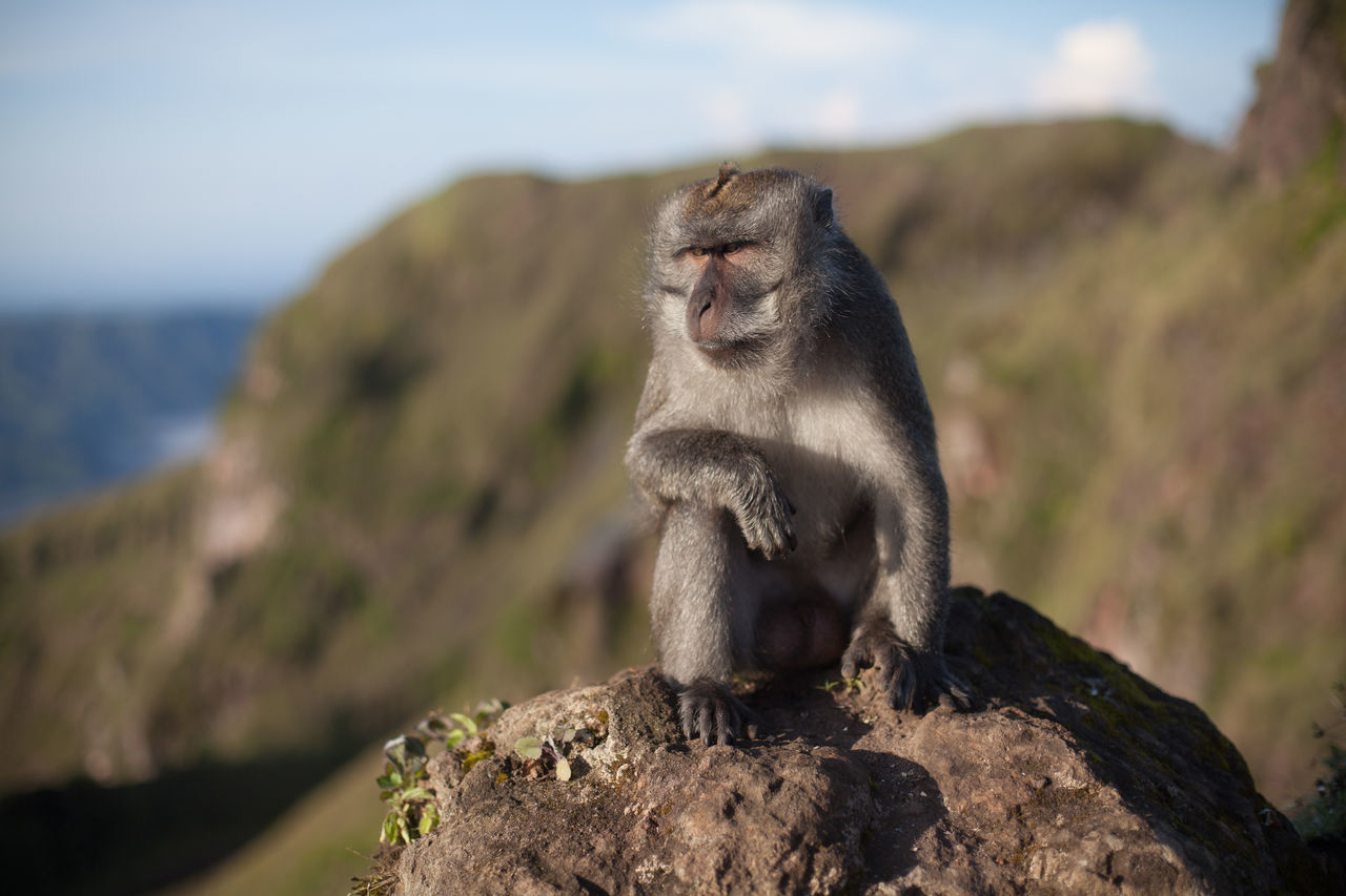Beautiful stock photos of monkey, Animal Themes, Animals In The Wild, Day, Full Length
