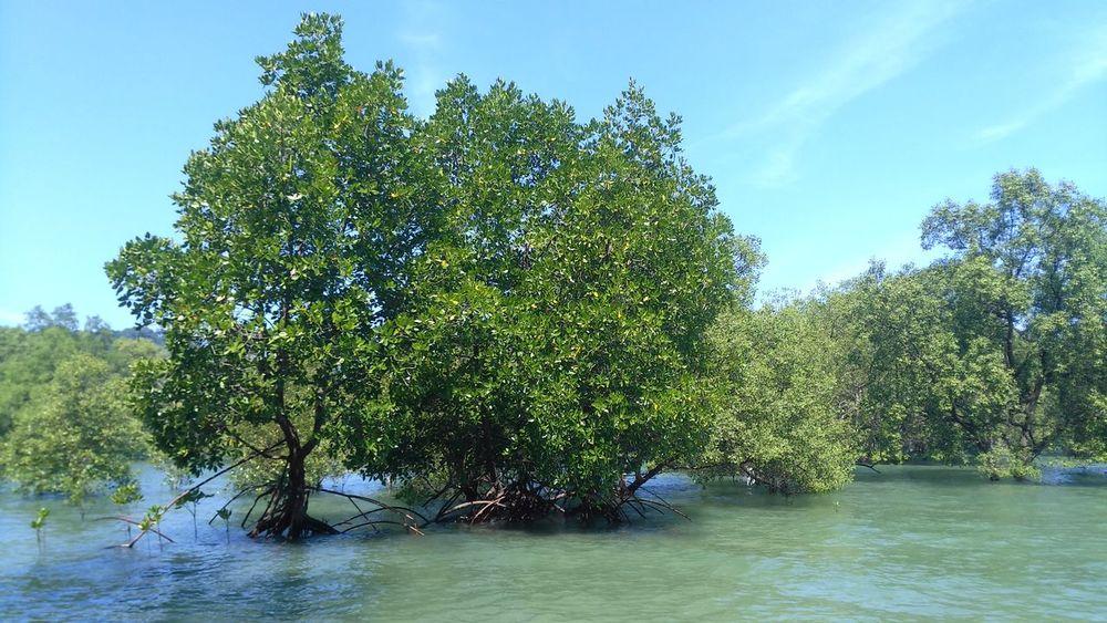 Mangroves Phayam L9