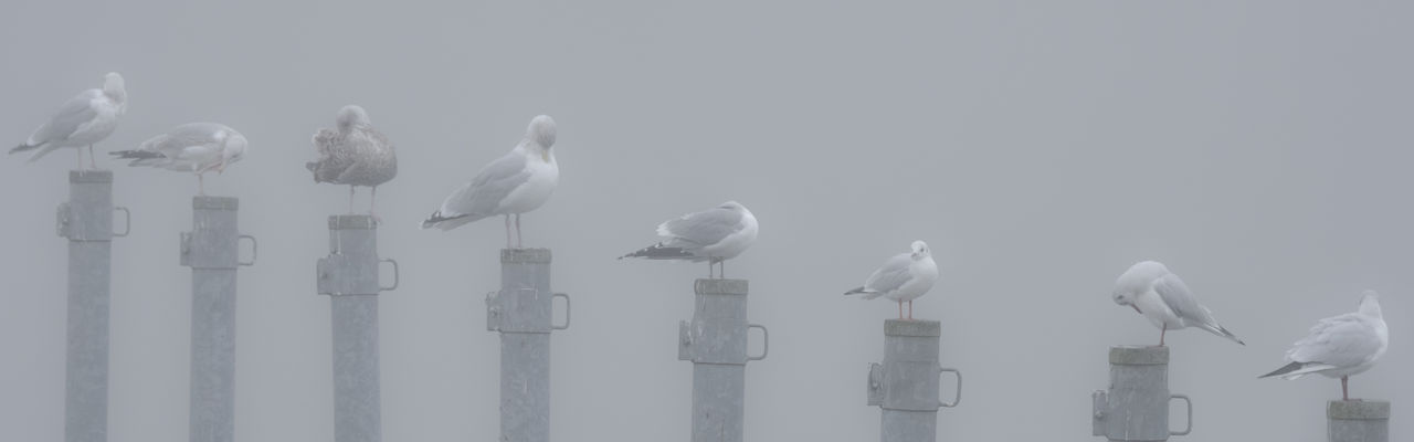 Cleaning session Diagonal Fresh On Eyeem  Hazy Days Lübeck Misty Panorama Seagulls Sitting Animal Themes Animals In The Wild Bird Close-up Day Fog Grey Group Of Animals Mooring Post No People Outdoors Perching Preening Shades Of Winter