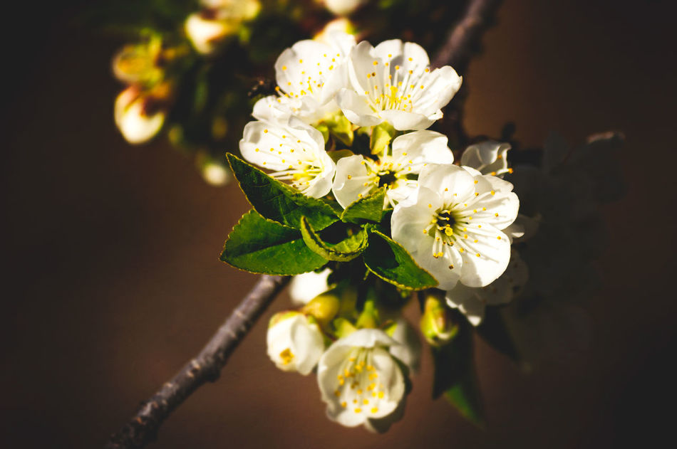White cherry blossoms Beauty In Nature Blossom Cherry Blossom Close-up Day Flower Flower Head Fragility Freshness Growth Nature No People Outdoors Petal Plant Springtime White Color