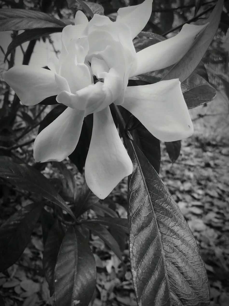 Hanging Out Taking Photos Check This Out Relaxing Enjoying Life Flowers,Plants & Garden Flowers Flower Gardenia Black And White Blackandwhite Black And White Photography Black & White Angle Angles Playing With Angles
