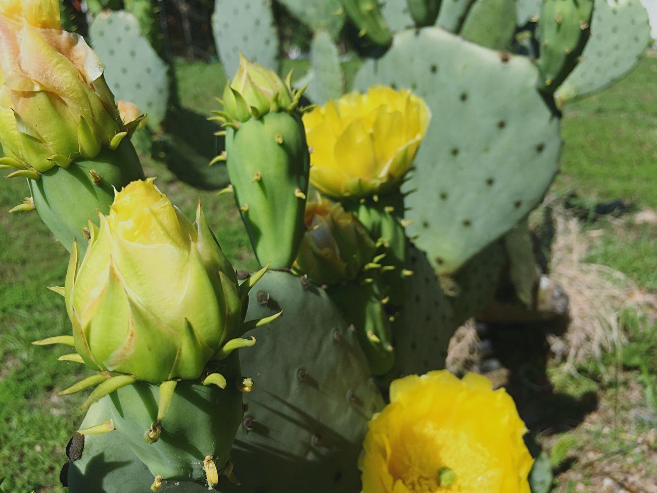 Cactus Cactusflower Flower Yellow Flower Head Nature Outdoors