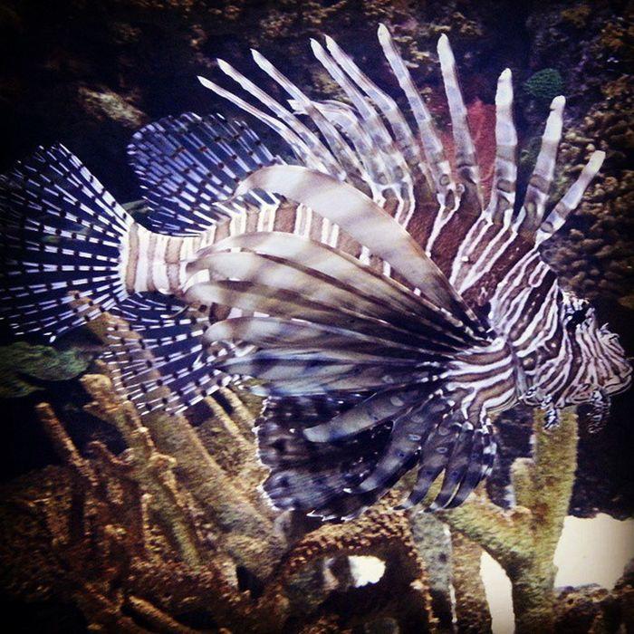 RipleysAquarium Fish Lionfish Venom Venomous Toronto Mobilephotography Marinelife