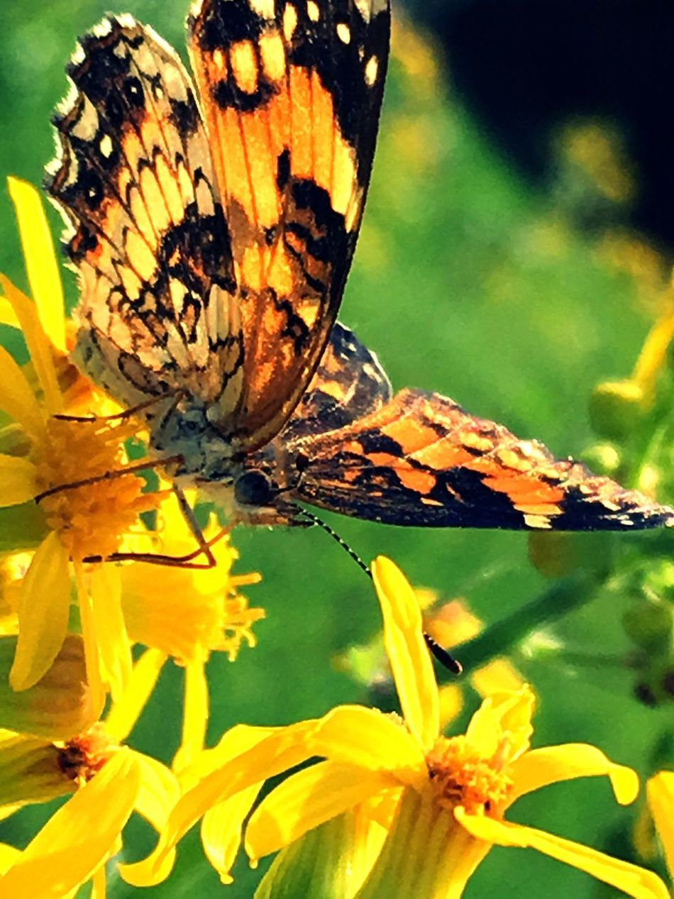 Sublime Lovely Butterfly Butterfly - Insect Nature Close-up Insect Painted Lady Wildflowers Pollenator Necter