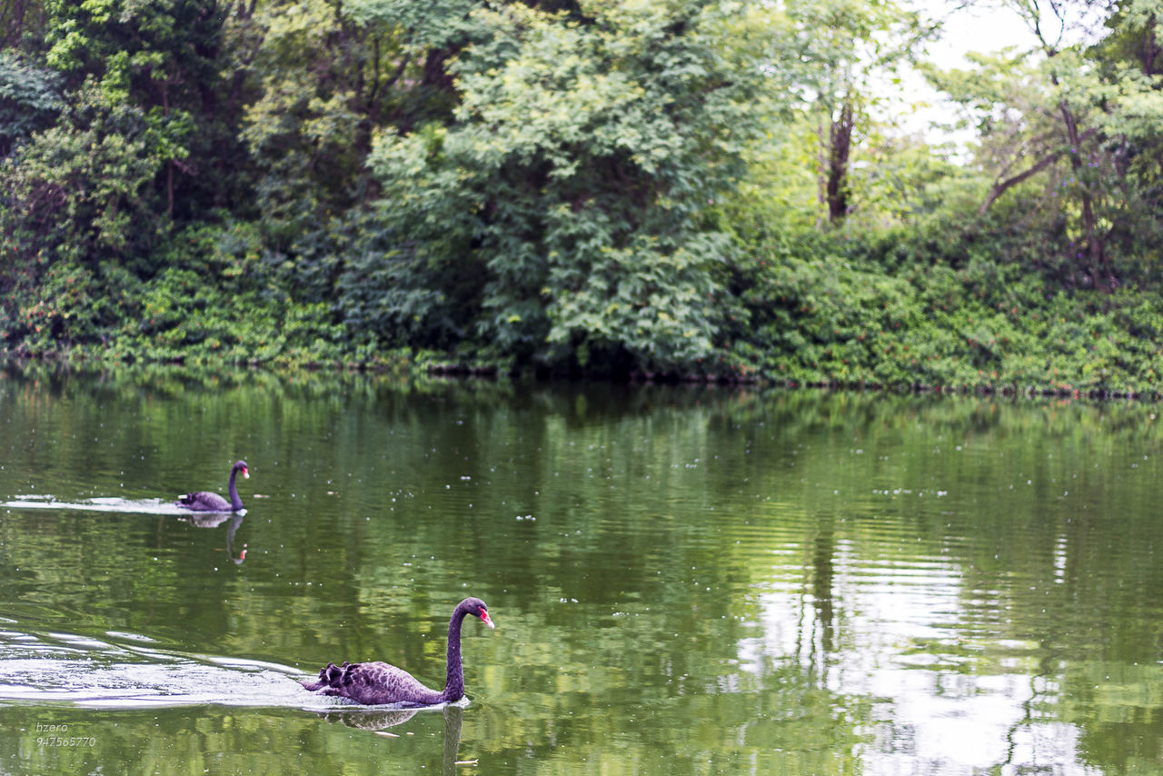 lake, animals in the wild, nature, swan, water, bird, animal themes, reflection, tree, day, one animal, outdoors, growth, beauty in nature, no people, black swan, swimming