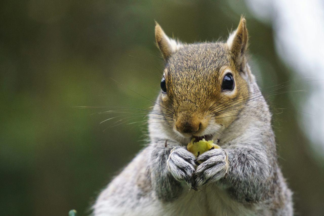 Beautiful stock photos of eichhörnchen,  Alertness,  Animal Head,  Animal Nose,  Animal Themes