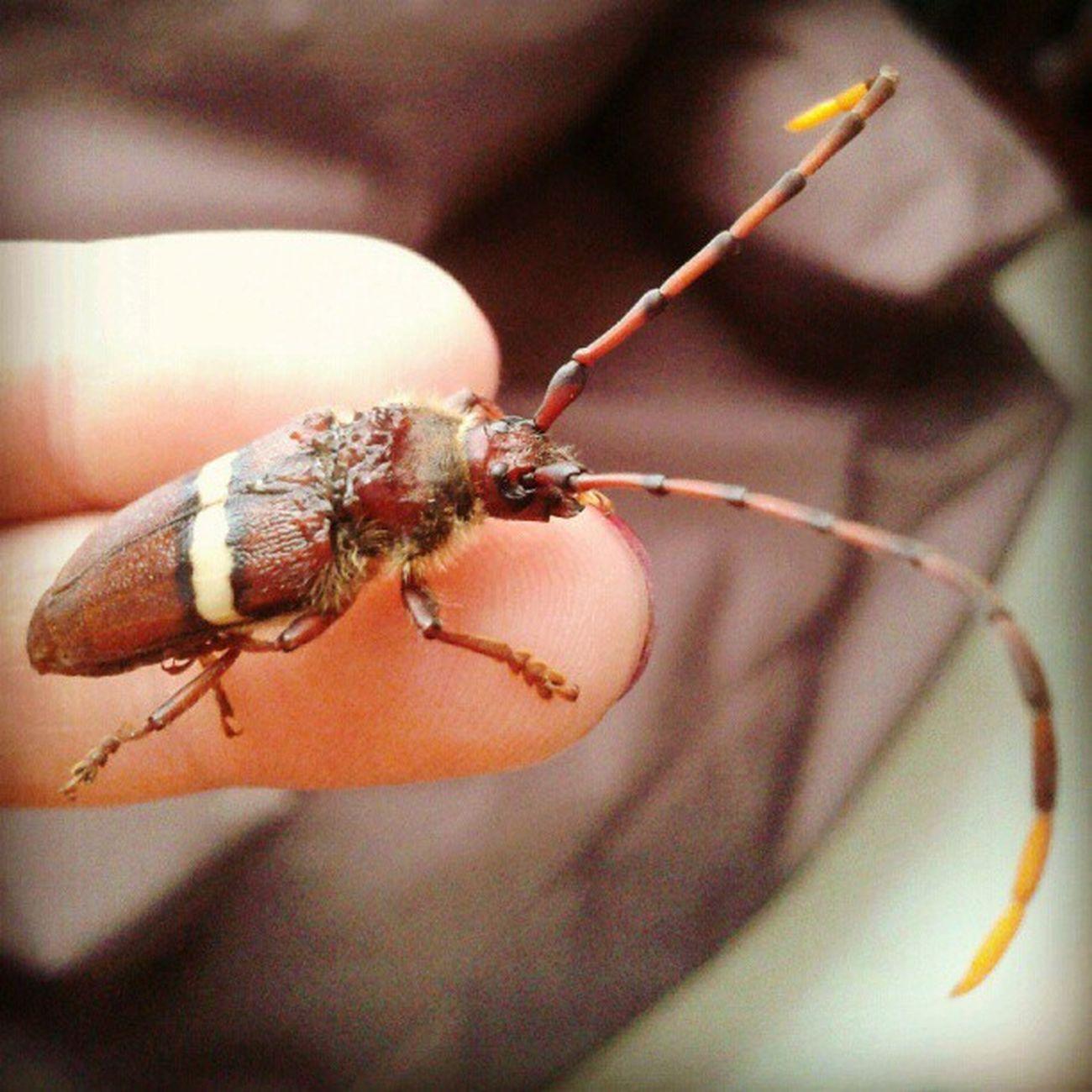 Que tal esta cosita tan hermosha!!!!! TRACHYDERES SUCCINTUS Succintus Trachyderes Insects  Arthropoda Coleoptera Polyphaga Chrysomeloidea Cerambycidaefamily