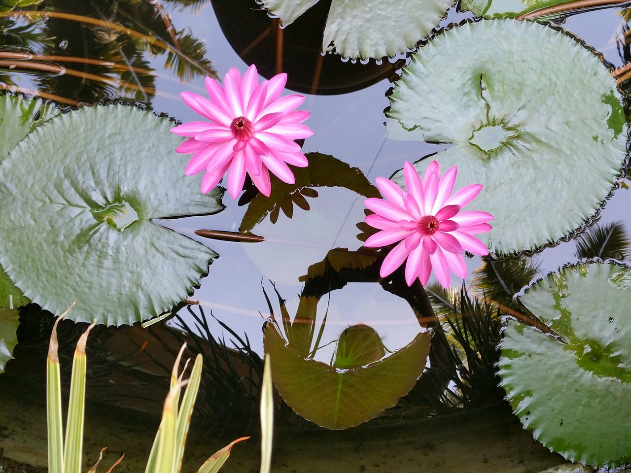 High Angle View Of Water Lilies Blooming In Pond
