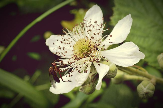 Bug Bug On A Flower Insect Insect On A Flower White Flower White Blossom Blossom Flower Green Leaves Beauty In Nature Nature Photography EyeEm Nature Lover Nature Lover Macro Macro Bug Macro Insect  Macro Nature Macro Photography Nikon D3200