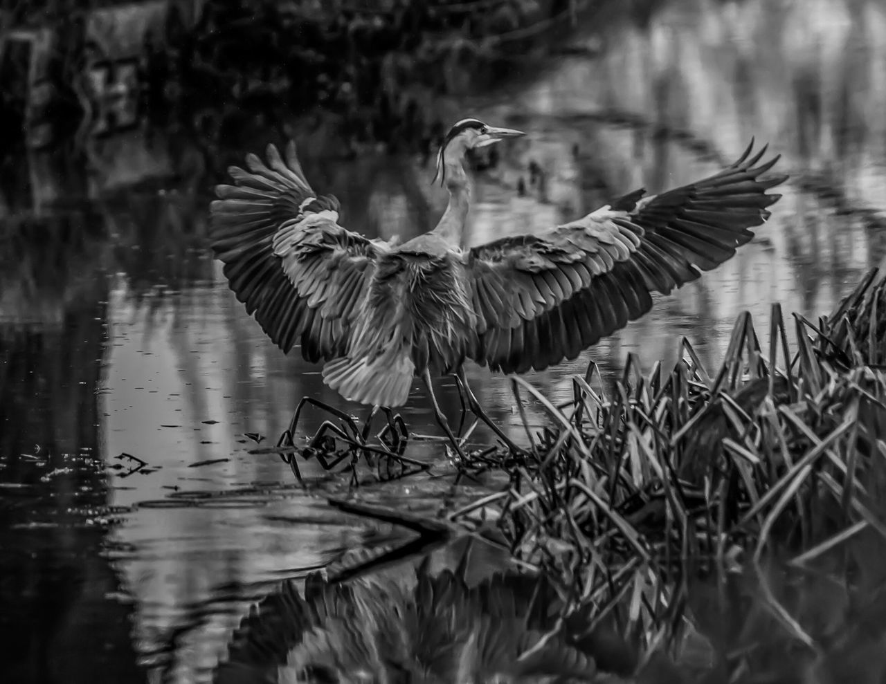 bird, animal themes, one animal, spread wings, animals in the wild, animal wildlife, nature, outdoors, day, lake, no people, water, full length, beauty in nature, close-up