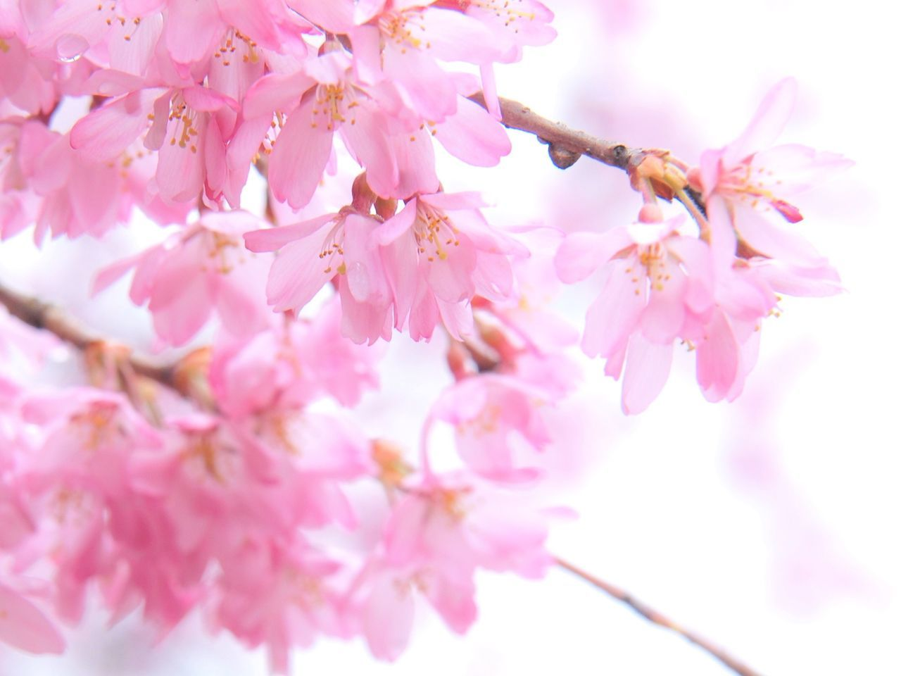 flower, pink color, blossom, fragility, springtime, beauty in nature, cherry blossom, branch, nature, cherry tree, tree, petal, growth, freshness, botany, twig, stamen, apple blossom, flower head, no people, close-up, plum blossom, pink, day, outdoors, blooming