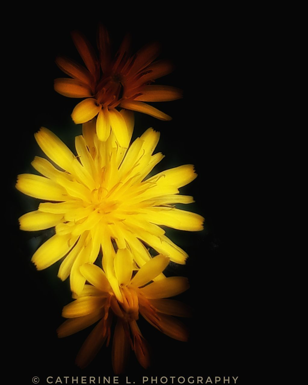 flower, yellow, petal, beauty in nature, nature, flower head, freshness, fragility, growth, black background, no people, blooming, studio shot, close-up, outdoors, day