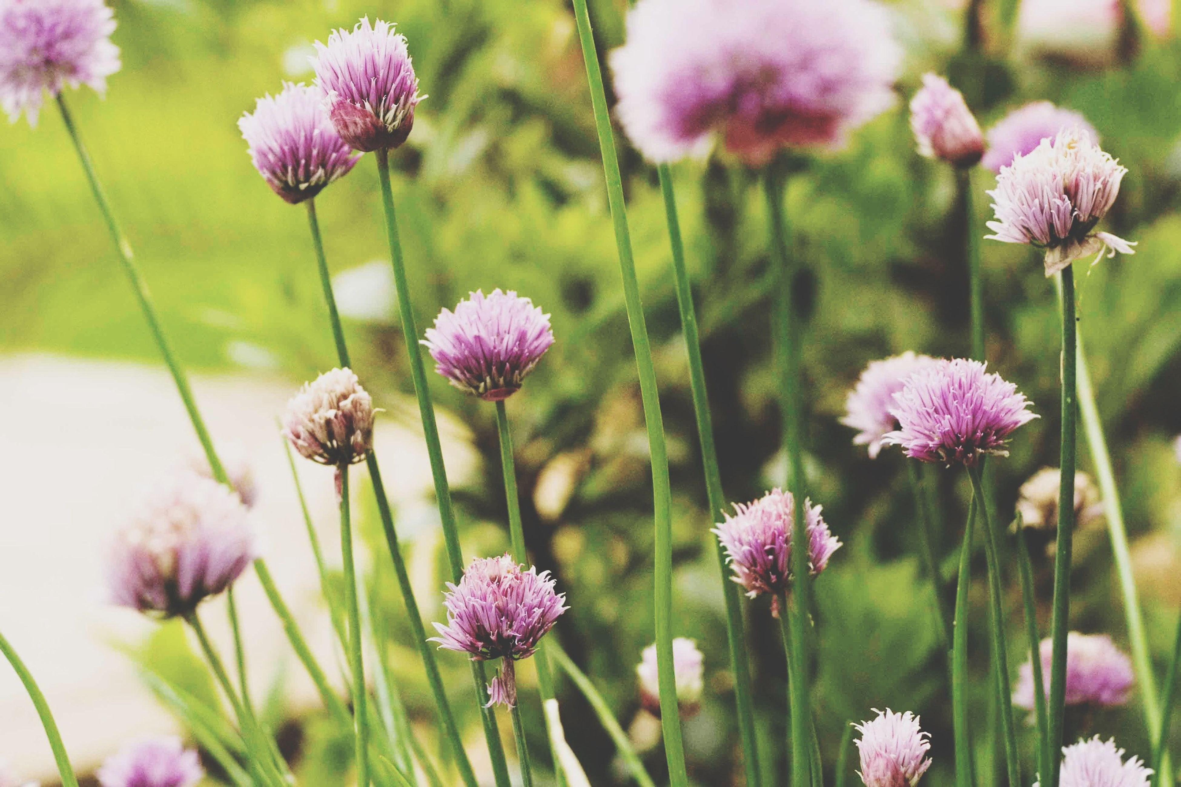 flower, freshness, fragility, growth, purple, pink color, beauty in nature, focus on foreground, nature, close-up, plant, stem, flower head, petal, blooming, in bloom, field, selective focus, blossom, thistle