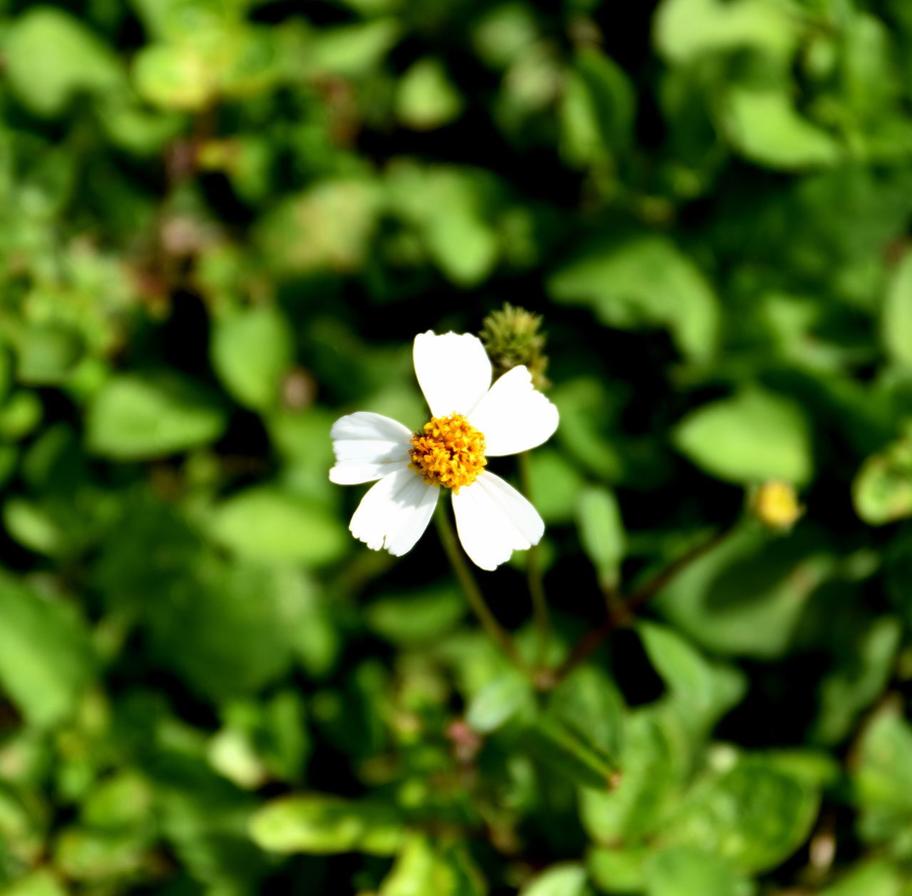 flower, petal, nature, white color, fragility, growth, flower head, beauty in nature, freshness, day, outdoors, blooming, no people, close-up