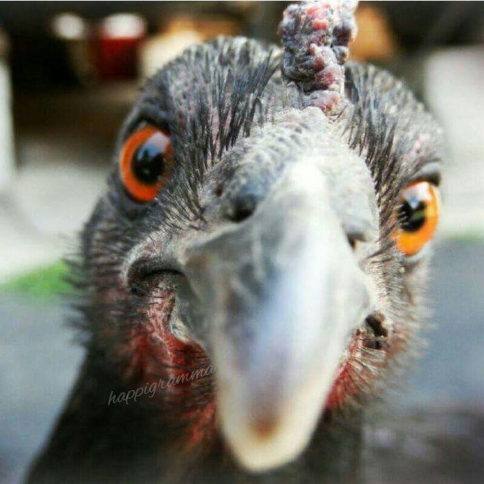 Happigramma Thesmallestlittlethings Chickenbird Chickengirl Notjustachicken Hiy'all Whome? Howdy Chicken Hen Eyeemphoto EyeEmbestshots EyeEm Best Shots Eyeemweekly Nikonphotography