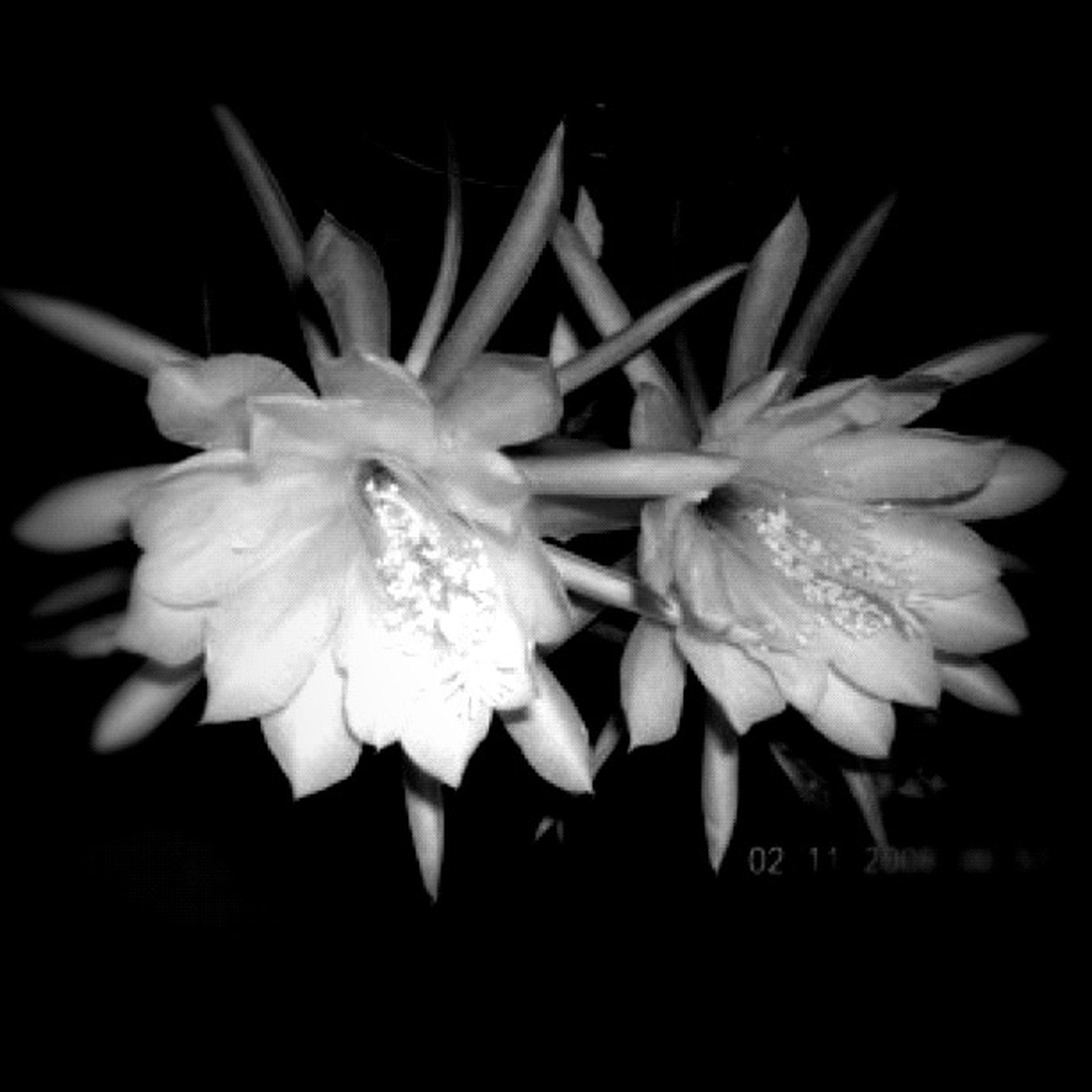 flower, petal, freshness, fragility, flower head, drop, water, wet, close-up, beauty in nature, growth, black background, single flower, nature, studio shot, blooming, pollen, dew, plant, stamen