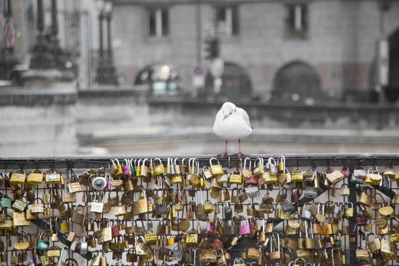 A lonely seagull is looking at love locks Lonely Loneliness Love Love Locks Love Locks Bridge Seagulls Animals Birds First Eyeem Photo Paris France Seine River
